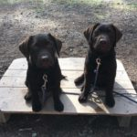 Hellroaring Kennels Puppies